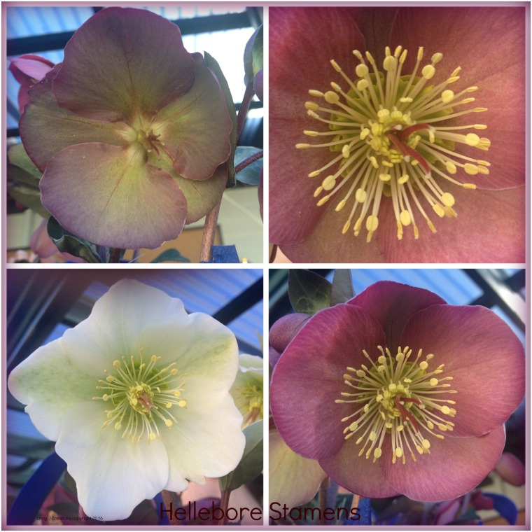 hellebore collage